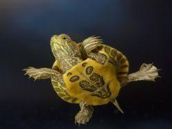 Kaplumbağa İsimleri Erkek, Dişi, İngilizce